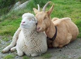 A juh- és kecsketenyésztők is kaphatnak támogatást