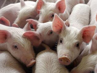 Csökkent a hazai sertésállomány