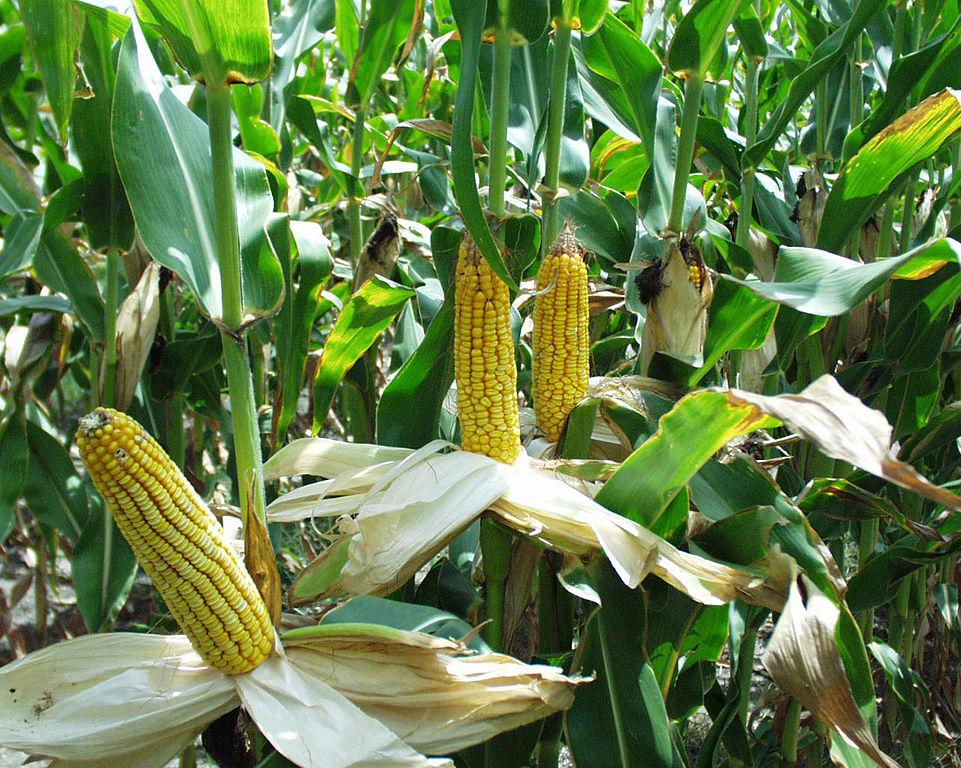 A kukoricatermesztésre kívánják felhívni a figyelmet