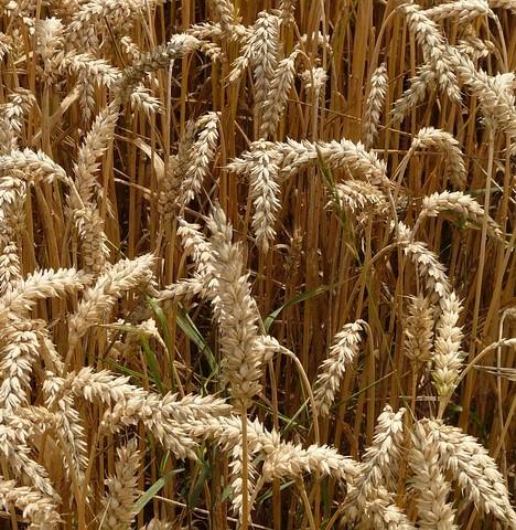 A GOSZ szerint árnövekedésben bízhatnak az idén a gabonatermesztők