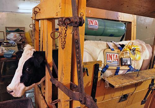 Egy argentin állatvédelmi szerv állatorvosa szerint nem fáj az állatoknak a szerkezet felhelyezése, és viselése sem