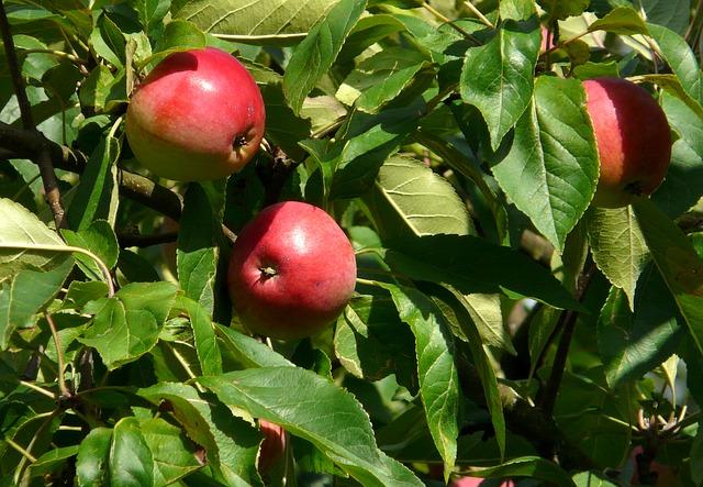 """A napégés elől a nagyobb lombkorona aláb """"bújhatnak el"""" a gyümölcsök"""