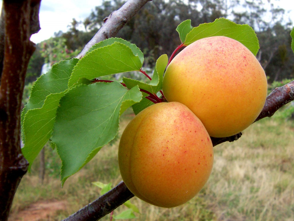 Ha nem tudja időben szüretelni a gyümölcsöt, rothadásgátló szerrel késleltetheti a szedés időpontját