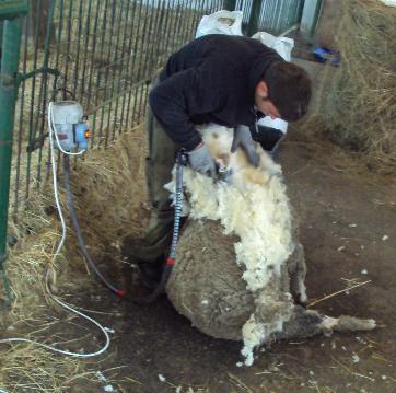 Szakértő kezek között nincs fájdalma a juhnak