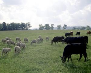 Több milliárd forint került kifizetésre a szarvasmarha-, illetve juhtartóknak