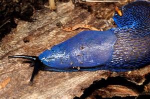 Európa legszebb meztelencsigájára, a kék meztelencsigára jobb ránézni, mint kevésbé színpompás társaira Fotó: bekesmegye.com