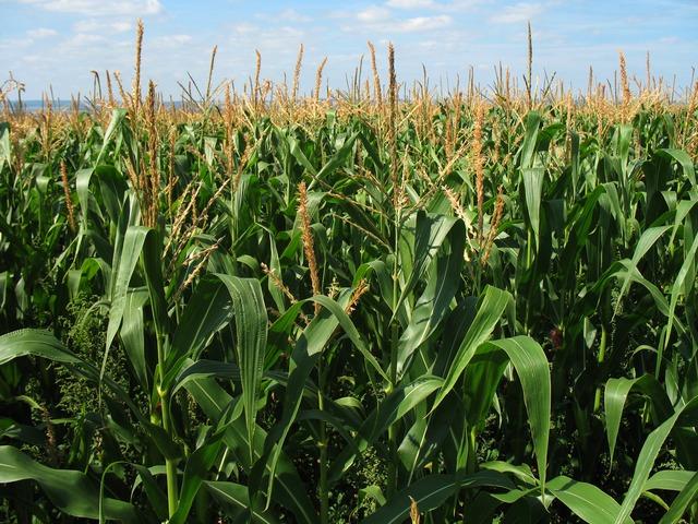 Nem a csodán, hanem a kellő odafigyelésen múlik a kukorica terméshozama