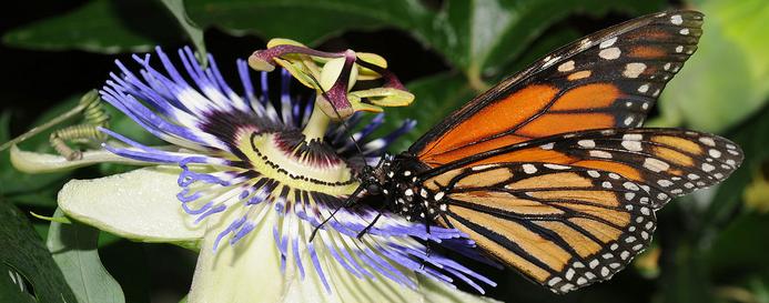 A pompás királylepkének a virágok beporzásában is nagy szerepe van Amerikában