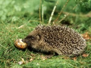A sündisznó a meztelen csigát is szereti Fotó: squidoo.com