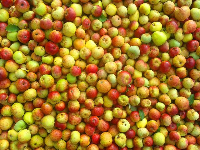 Ha nem sikerül a túltermelési válságot időben kezelni, sok termelő fel sem szedi idén az almáját
