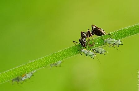 A hangyák gyűjtik a felületesen emésztő tetvek mézgacseppjeit Fotó: kapanyel.blog.hu