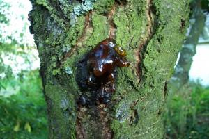 Így néz ki egy mézgás ( latinul gummozis) fa