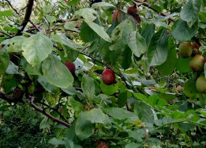 A szilvával együtt még sok más gyümölcs is érik ezekben a hetekben