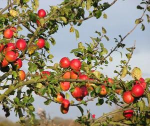 780 ezer tonna almát szedhetünk le idén a fákról, de hiába a rekord