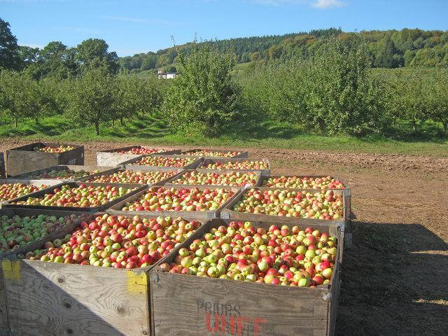 Idén rekordmennyiségű almatermés várható!