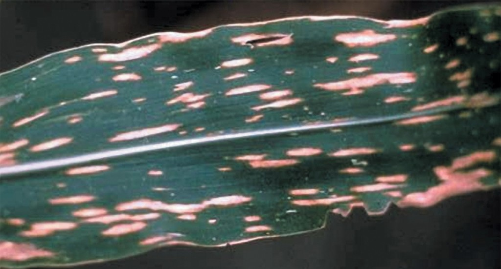 A képen a kukorica levélfoltosság tünetei láthatóak