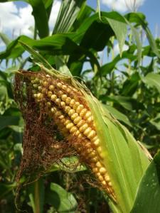 Figyeljünk oda a fuzárium tüneteire, ha időben észleljük, nem lesz nagy a termésveszteség.