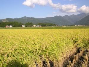Idén nem kedvezett az időjárás az ázsiai rizstermesztőknek