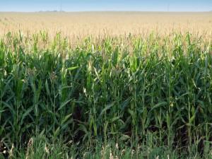 Jó lehet az idei kukoricatermés