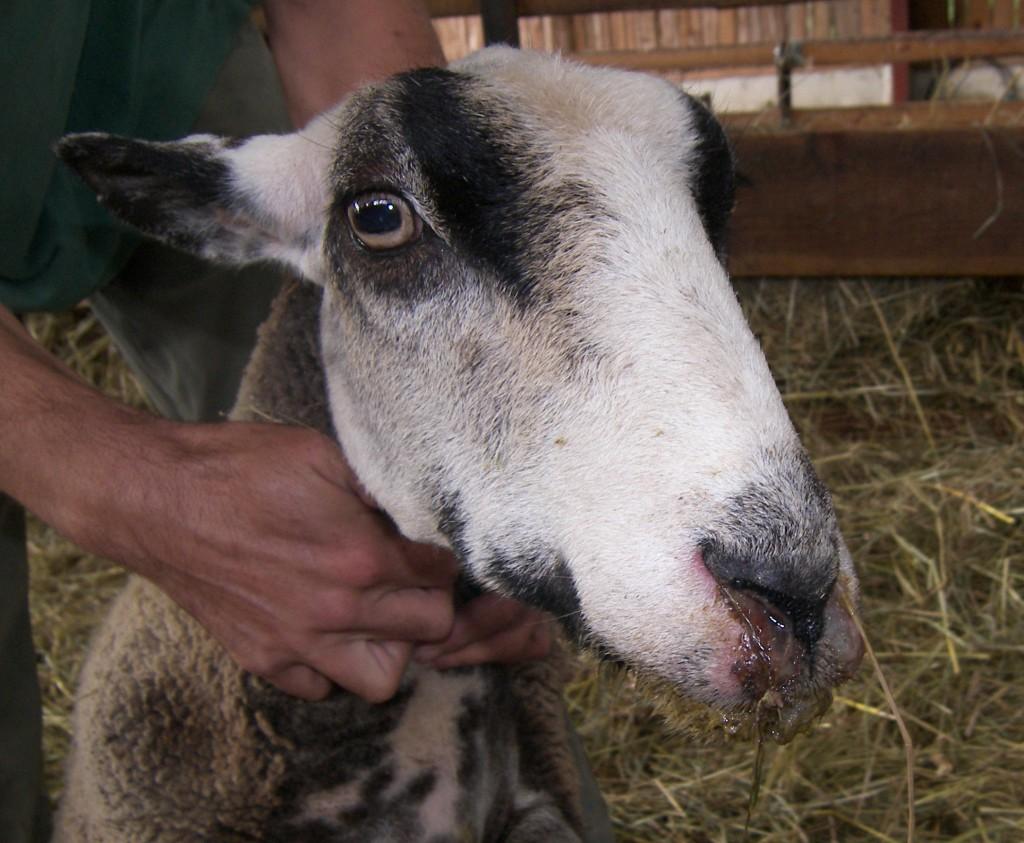 Az emberre nem veszélyes a kéknyelv betegség, de minden kérődző állatra igen!