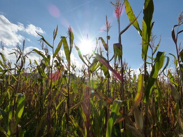 A kukorica a meleget és a napsütést kedveli.