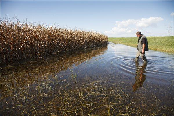 Kersák György, a Siófok Térségi Gazdakör elnöke gyalogol gumicsizmában egy víz alatt álló kukoricatábla mellett Siófok határában 2014. október 16-án. Fotó: Varga György (MTI)