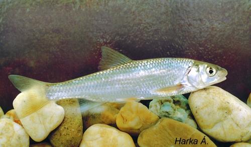 Nyúldomolykó (Leuciscus leuciscus)