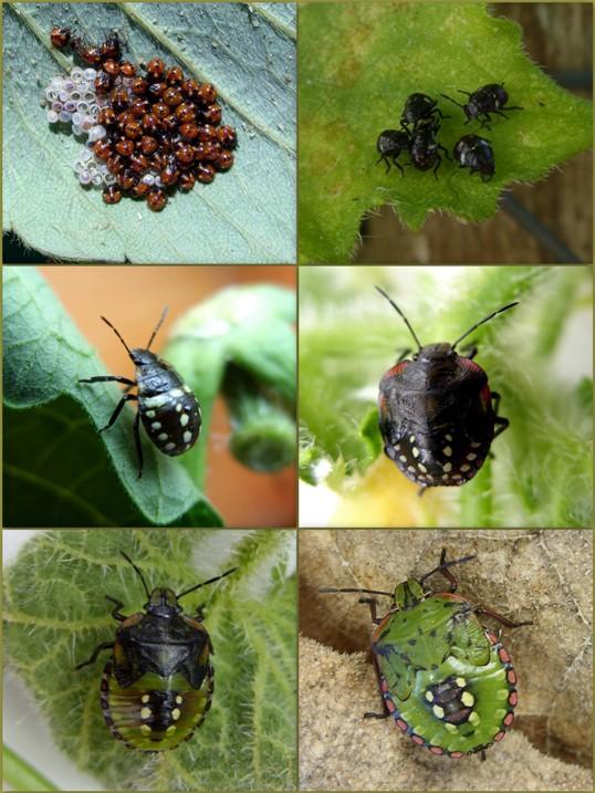 Zöld vándorpoloska (Fotó: kapanyel.postr.hu)