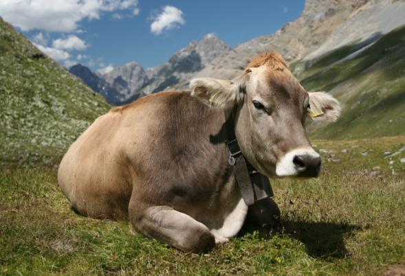 Akéknyelvfertőzésemberre nem veszélyes, viszont az összes kérődző állat - szarvasmarha, juh és kecske, vadon élő kérődzők – fogékonyak rá.