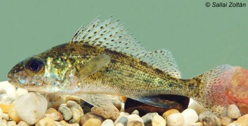 Vágódurbincs (Gymnocephalus cernua)