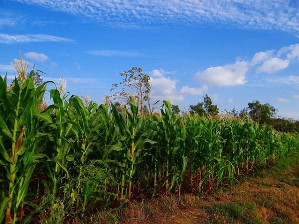 Az egyik legátütőbb eredmény a kukorica termésmennyisége, amely meghaladja a 9 millió tonnát