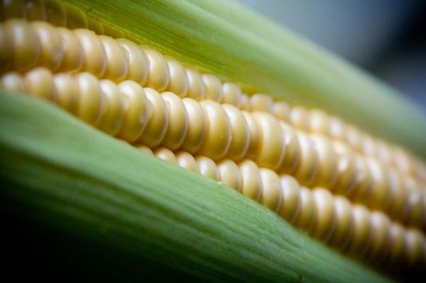 A korai fajták még gyengén szerepeltek, de a később érők már jó termésátlagot hoztak