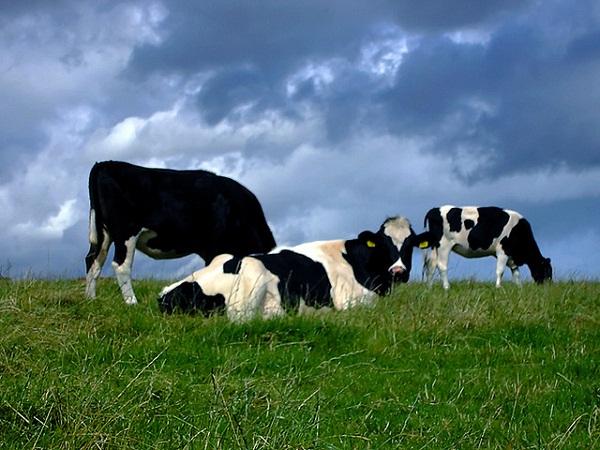 Több pénz jut jövőre a szarvasmarhát tartó és a tejtermeléssel foglalkozó gazdáknak