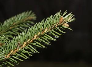 Közönséges luc - Picea abies