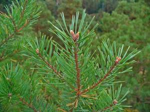 Erdei fenyő - Pinus sylvestris