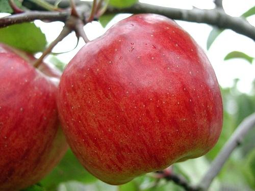 A magyar alma minőségére nem lehet panasz