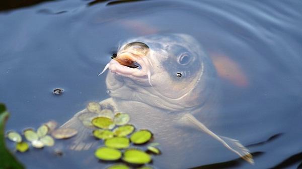 A magyar emberek között a ponty számít a legkedveltebb halnak