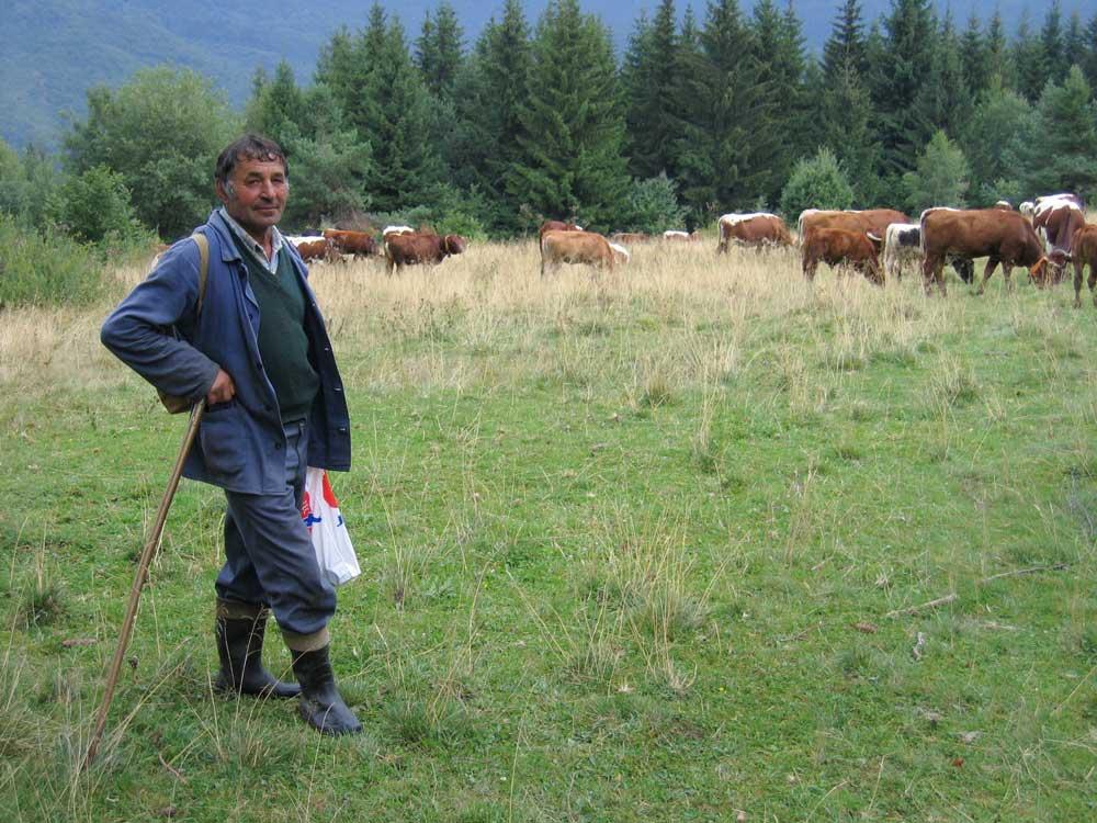 A tehénpásztorokat megkímélték a vesszőzéstől.