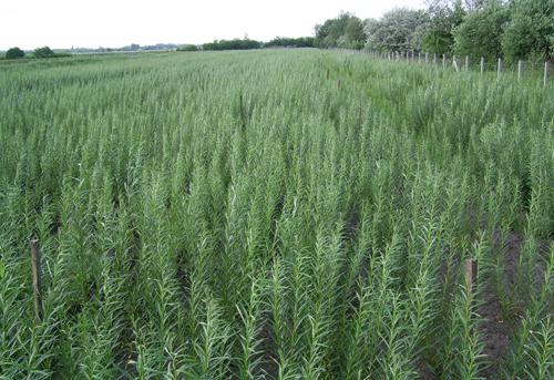 A vörösiszappal elöntött területeken energianövények termesztésébe kezdtek.