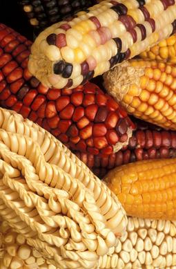 Sokan, fogyasztók és termesztők egyaránt ellenzik a gmo-k termesztését.