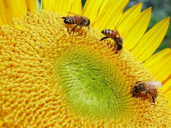 A kémiai növényvédő szerek visszaszorításával a porzásban segédkező méheket is kímélni tudjuk