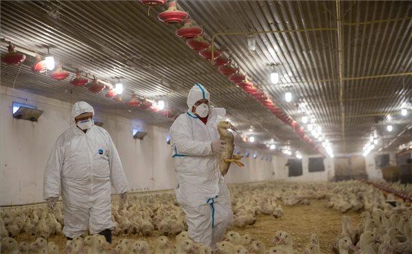 A füzesgyarmati kacsaállomány nem fertőz tovább. Fotó: Rosta Tibor (MTI)