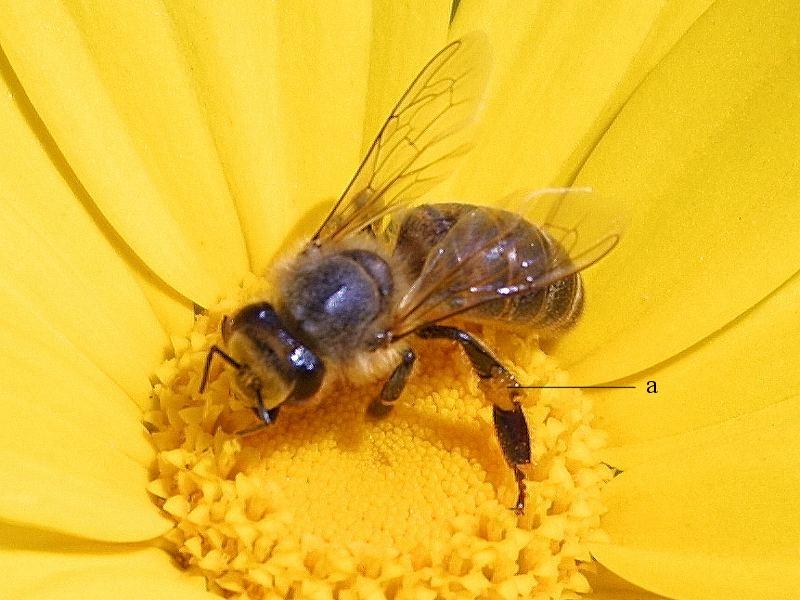 A méhek  védelme érdekében vissza kell szorítani a neonikotinoid tartalmú növényvédő szereket