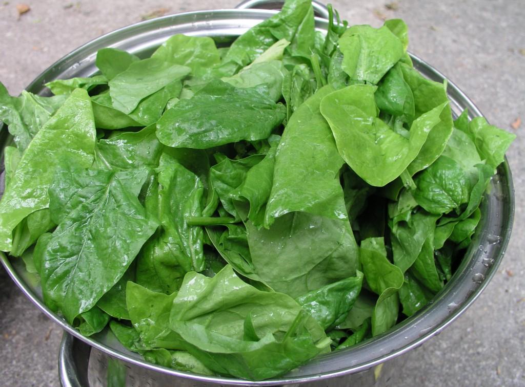 A spenót az egyik legkorábbi zöldségféle hazánkban