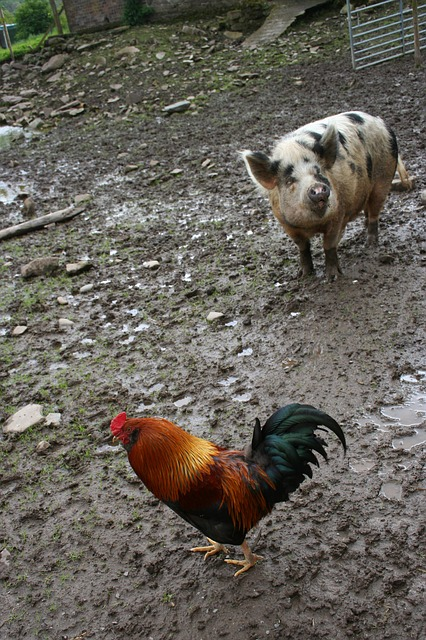 A baromfisok felvették a kesztyűt a sertéságazattal szemben
