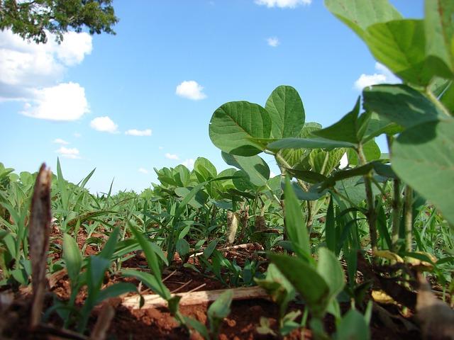 GMO szójabab