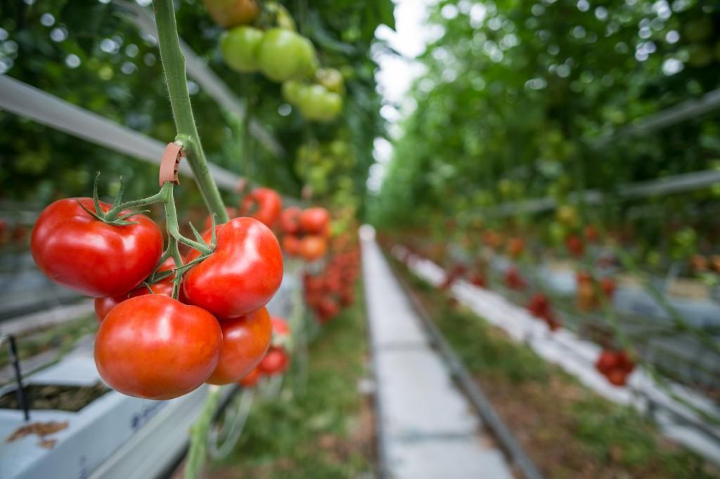 """A hagyományos """"fóliás"""" termesztés megszűnőben van, felváltja a modern üvegházakban történő intenzív, talajnélküli termelés."""
