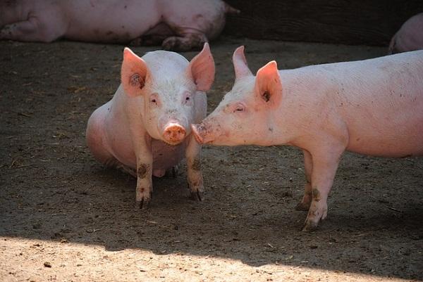 Globálisan emelkedhet idén a sertéshústermelés