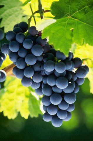 A megfelelő körülményeket meghálálja a szőlő