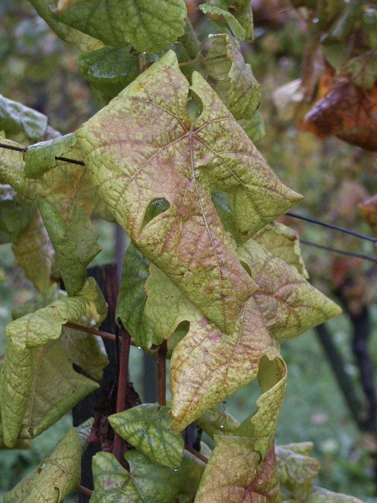 A szőlő fitoplazmás betegsége